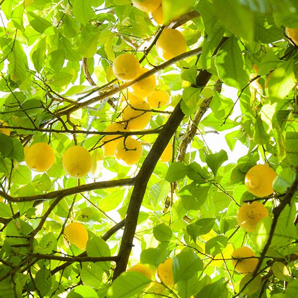 Zitronen Öl 10ml